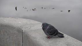 Le pigeon se repose sur une barrière, une eau et des mouettes de granit clips vidéos