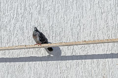Le pigeon se reposent sur un tuyau près d'un mur blanc dans un jour ensoleillé Photographie stock