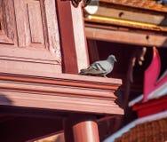 Le pigeon se tient prêt la fenêtre Photos libres de droits