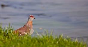Le pigeon tacheté Image libre de droits