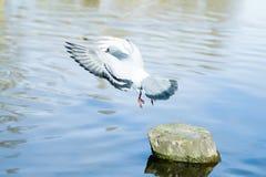 Le pigeon vole au-dessus de la rivière Image stock