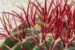 Le pilosus de Ferocactus de cactus avec les bourgeons jaunes se ferment  photo stock