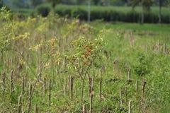 Le piment est le fruit des usines du genre poivron, la version 8 Image libre de droits