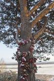 Le pin a accroché avec des châteaux de mariage dans la ville de Velsk, région d'Arkhangelsk Images stock