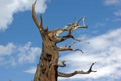 Le pin de bristlecone Photo libre de droits