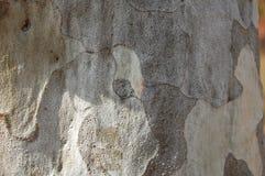 Le pin de Bunge/pin de lacebark/bungeana blanc-écorcé de pinus de pin photos libres de droits