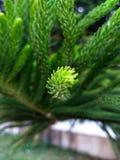 Le pin de sapin grand poussent des feuilles étroit  photos libres de droits