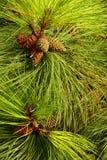 Le pin a des cheveux image stock
