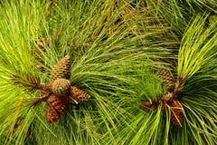 Le pin a des cheveux image libre de droits