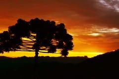 Le pin du ria de ¡ d'Araucà pendant le matin prévoit le froid images stock