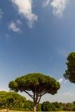 Le pin en pierre ou le Pinus pinea, copie espacent en haut Photographie stock