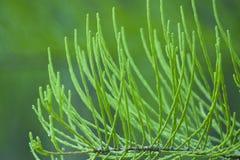 Le pin laisse les feuilles vertes image libre de droits