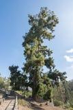 Le pin le plus grand Pino Gordo dans Ténérife, Îles Canaries, Espagne Photos libres de droits