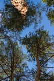 Le pin refoule la consultation de ciel de dessus Images stock