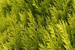 Le pin s'embranche fond Photographie stock libre de droits