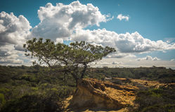 Le pin San Diego de torrey Photo stock