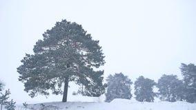 Le pin seul d'arbre de Noël se développent dans le paysage de forêt de nature de tempête de neige d'hiver Photo libre de droits