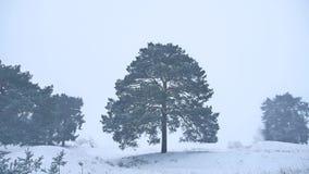 Le pin seul d'arbre de Noël se développent dans le paysage de nature de forêt de tempête de neige d'hiver Photo stock