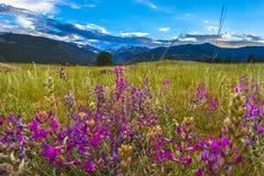 Le pinceau indien fleurit le paysage du Colorado photographie stock