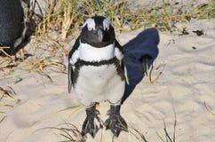 Le pingouin africain prend le bain de soleil Images stock