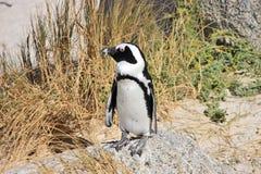 Le pingouin africain reste sur la pierre Image libre de droits