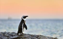 Le pingouin africain sur le rivage au twiligh de soirée, ciel rouge de coucher du soleil Image libre de droits