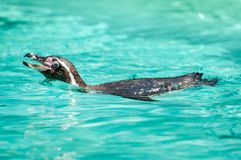 Le pingouin aime nager, celui-ci dans une eau clair comme de l'eau de roche au parc zoologique images stock