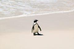 Le pingouin aux rochers échouent, en dehors de Cape Town, l'Afrique du Sud images libres de droits