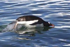 Le pingouin de Gentoo sautent par-dessus l'océan 1 Photo stock