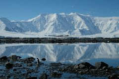 Le pingouin de l'Antarctique dans une baie bleue de miroir sous la neige blanche a couvert des montagnes photos libres de droits