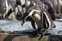 Le pingouin essaye de plonger dans l'eau Groupe de pingouins de Humboldt à l'arrière-plan Images stock