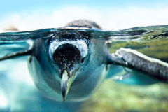 Le pingouin est sous l'eau Photos stock