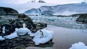 Le pingouin long-coupé la queue de gentoo est des espèces d'un pingouin dans le genre Pygoscelis, péninsule antarctique, Antarcti image libre de droits