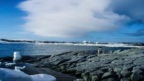 Le pingouin long-coupé la queue de gentoo est des espèces d'un pingouin dans le genre Pygoscelis, péninsule antarctique, Antarcti images libres de droits