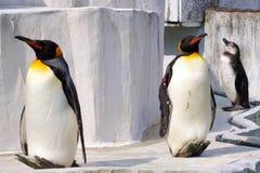 Le pingouin qui lézarde au soleil Images libres de droits