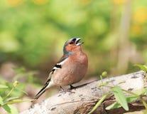 Le pinson chante au printemps le parc par temps ensoleillé Photographie stock