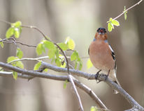 Le pinson chante la chanson se reposant sur une branche en parc Images libres de droits
