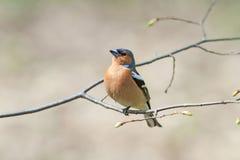 Le pinson chante sur la forêt de branche au printemps Images stock