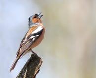 Le pinson d'oiseau chante la chanson se tenant sur une branche Images stock