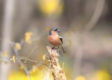 Le pinson d'oiseau chante la chanson tout en se tenant sur un tronçon dans le f Image stock