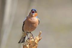 Le pinson d'oiseau chante la chanson tout en se tenant sur un tronçon dans le f Photo libre de droits