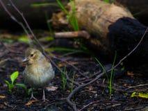 Le pinson femelle photo libre de droits