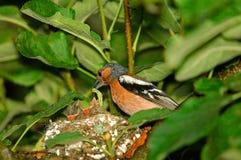 Le pinson masculin alimente des poussins dans le nid Images stock