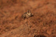 Le pipit de Paddyfield en parc national de wilpttu plus petit que le ` de Richard s et très semblable à lui dans le plumage image libre de droits