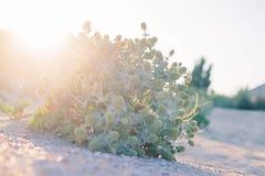 Le piquant vert se développe sur le sable de plage Le buisson d'Eryngium se développe sur le sable de plage de désert photos libres de droits