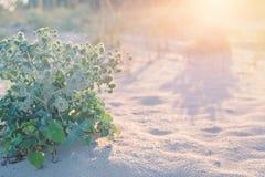 Le piquant vert se développe sur le sable de plage Le buisson d'Eryngium se développe sur le sable de plage de désert photos stock
