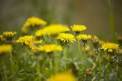 Le pissenlit au printemps dans l'herbe Image stock