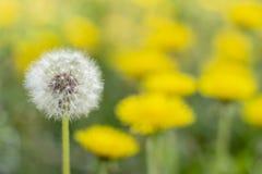 Le pissenlit blanc de concept parmi le jaune tiennent la jeunesse de vieillesse photographie stock libre de droits