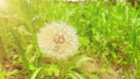 Le pissenlit de fleur doucement blanche sur le fond d'herbe verte, avec la lumière du soleil chaude, concept de ressort est venir banque de vidéos