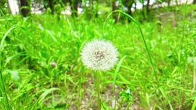 Le pissenlit de fleur doucement blanche sur le fond d'herbe verte, concept de ressort vient, mouvement lent clips vidéos